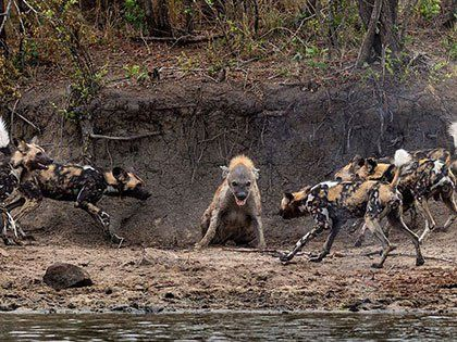 This Hyena Was Cornered By A Pack Of Wild Dogs, But What It Did Next Made The Dogs Too Frightened To Chase Down