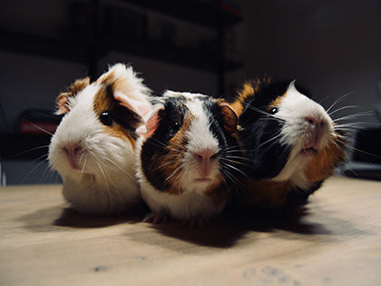 Want Cute and Funny Guinea Pig Names? Here Are The Best Ever!