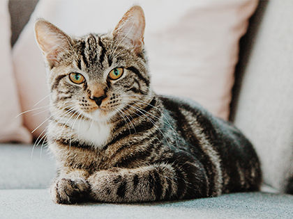 10 Healthiest Cat Breeds That Save You Trips To The Vet